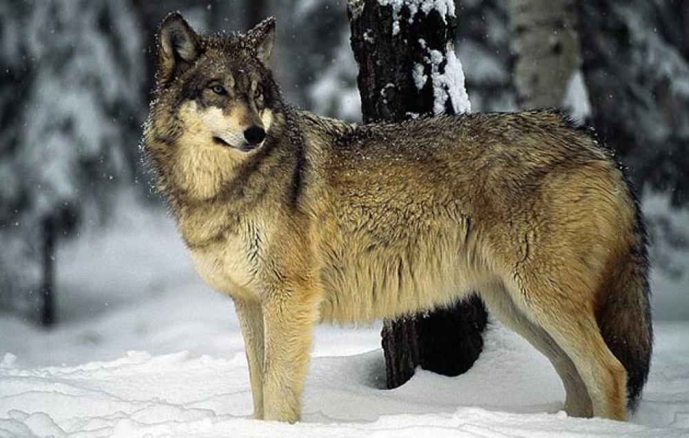 1. dionička radionica za izradu stručne podloge za prijedlog plana upravljanja vukom
