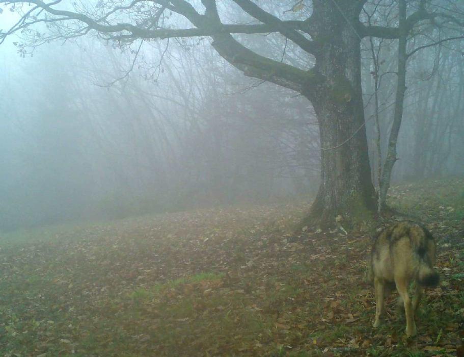 Brojnost vukova sve veći