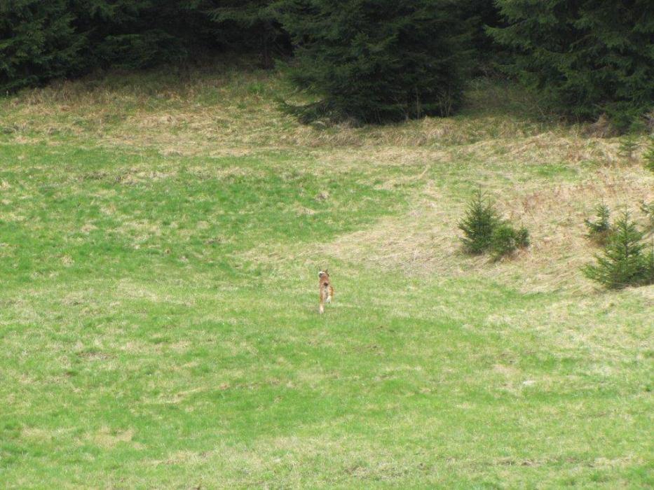 Ispuštanje rumunjskog risa Dorua u goranske šume