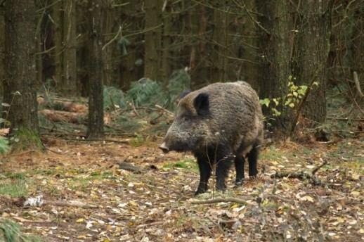 Ministarstvo objavilo upute o provedbi Naredbi vezanih za sprječavanje Afričke svinjske kuge