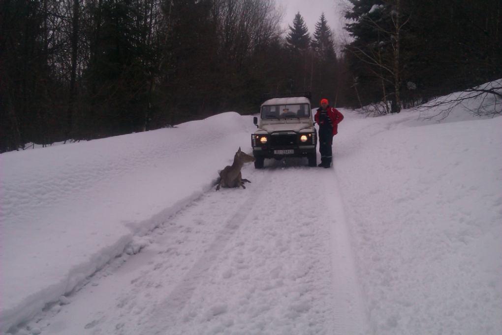 Zimske nepogode za divljač